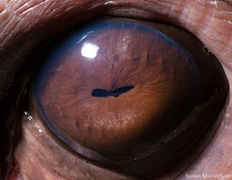 eye - hippopotamus