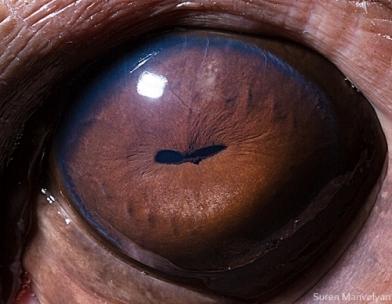 eye - hippopotamus