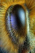 eye - honeybee