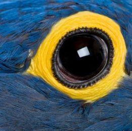 Hyacinth Macaw (1 year old) - Anodorhynchus hyacinthinus