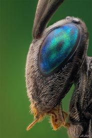 eye - insect 11