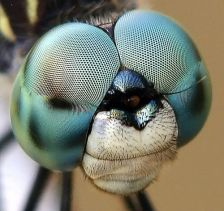 eye - insect 6