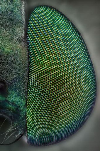 eye - insect 8