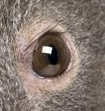 eye - koala 1