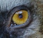 eye - lemur 1