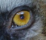 eye - lemur 1