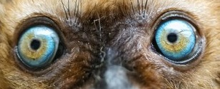 eye - lemur 2
