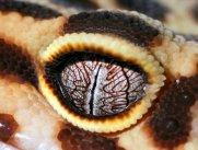 eye - leopard gecko