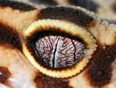 eye - leopard gecko