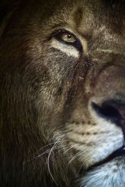 eye - lion 1