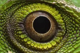 eye - lizard