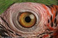 eye - macaw