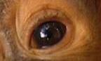 eye - orangutan 1
