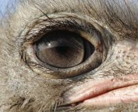 eye - ostrich 2