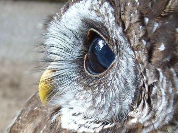eye - owl 1