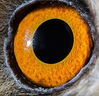 eye - owl 4