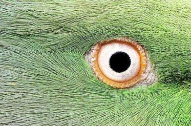 eye - parrot 1