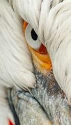 eye - pelican