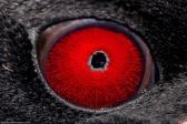 eye - penguin