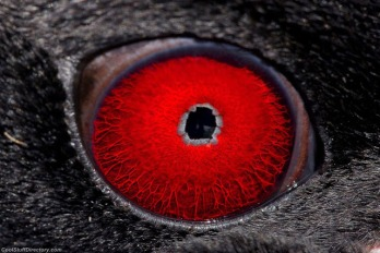 eye - penguin
