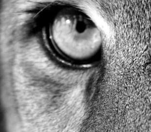 eye - puma