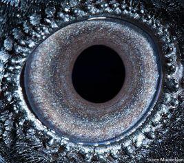 eye - raven