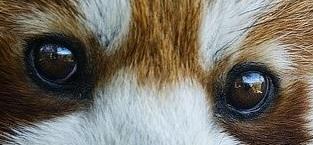 eye - red panda 1