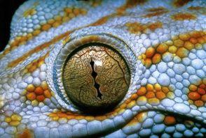 eye - reptile 2