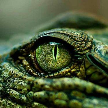 eye - reptile 3