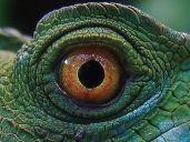 eye - reptile 4