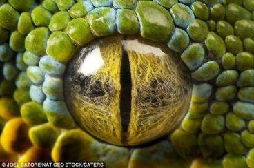eye - reptile 5