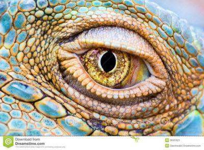 eye - reptile 7