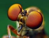 eye - robber fly
