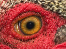 eye - rooster 1