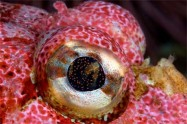 eye - sculpin fish