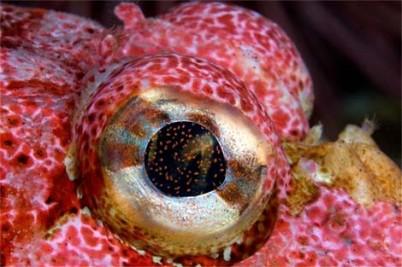 eye - sculpin fish