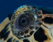 eye - sea turtle 2