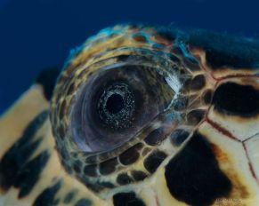eye - sea turtle 2