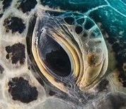 eye - sea turtle