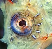 eye - seahorse