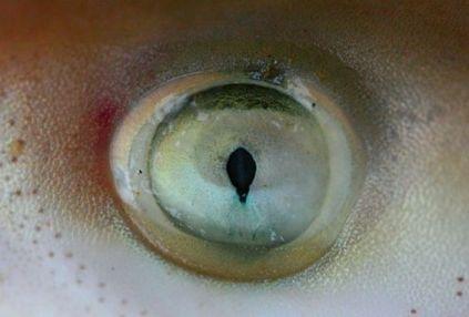eye - shark eye