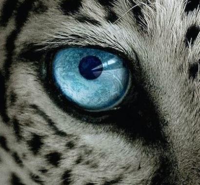 eye - snow leopard 1