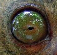 eye - tarsier