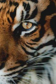 eye - tiger 2