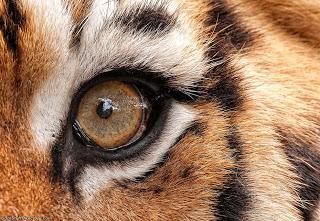 eye - tiger