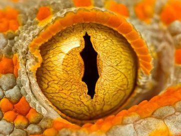eye - tokay gecko