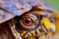 eye - turtle 1