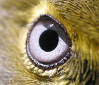 eye - white eye vireo