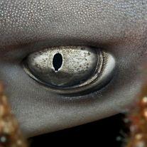 eye - white tip reef shark 2