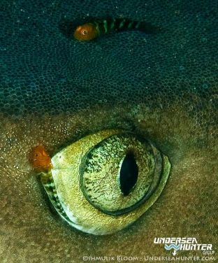 eye - white tip reef shark